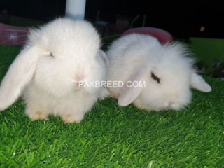 Holland lop bunnies extremely beautiful