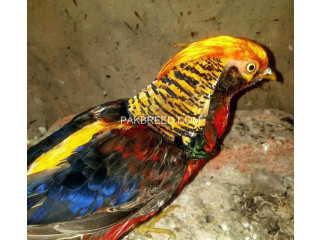Tedgolden pheasant for sale