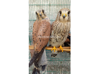 Kastral falcon