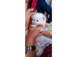 Pure Persian Breed Punch Face Beauty