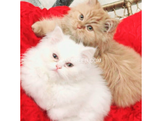 Chintu and minky for sale