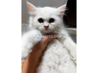 52days old Persian kittens ready to go new home