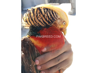 Red Golden Pheasant Male