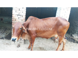 Red cow for Qurbani
