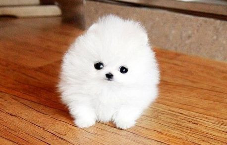 pomeranian-puppies-available-for-free-big-0