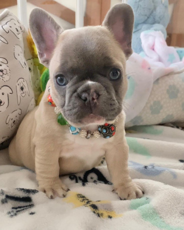french-bulldog-puppies-available-for-free-adoption-big-0
