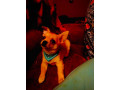 full-breed-male-chihuahua-small-0