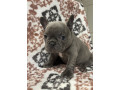 french-bulldog-puppies-available-small-0