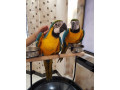 two-beautiful-talking-blue-and-gold-macaw-parrots-small-0