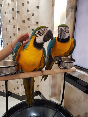 two-beautiful-talking-blue-and-gold-macaw-parrots-big-0