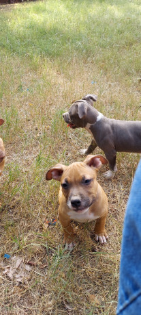 abkc-registered-american-bully-pups-big-2