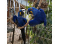 cute-male-and-female-hyacinth-macaw-parrots-for-sale-small-0