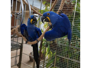 Cute male and female Hyacinth Macaw Parrots for Sale