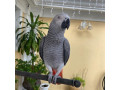 talking-african-grey-parrots-available-now-for-adoption-small-0