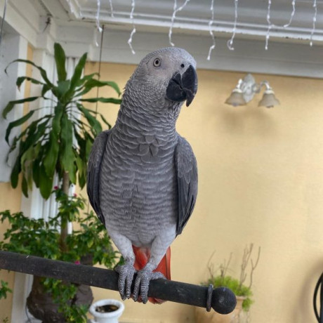 talking-african-grey-parrots-available-now-for-adoption-big-0