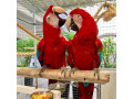 adorable-greenwing-macaw-parrots-small-0