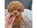 potty-trained-male-and-female-toy-poodle-puppies-for-sale-small-0