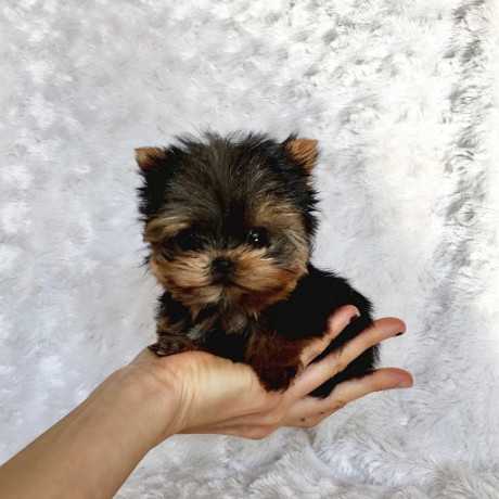 gorgeous-teacup-yorkie-puppies-available-big-0