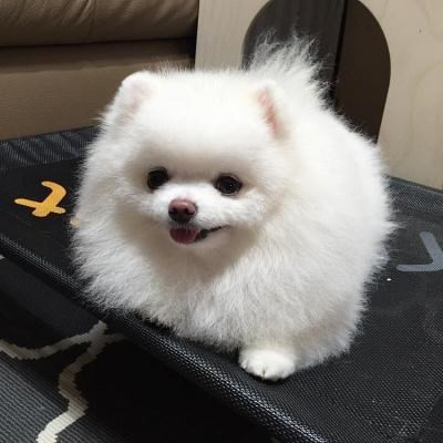awesome-teacup-pomeranian-puppies-ready-now-big-1