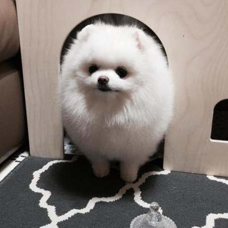 awesome-teacup-pomeranian-puppies-ready-now-big-0
