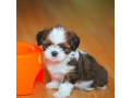 beautiful-shihtzu-puppies-male-and-female-available-small-1