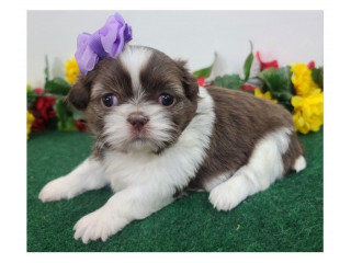 Beautiful shihtzu puppies male and female available
