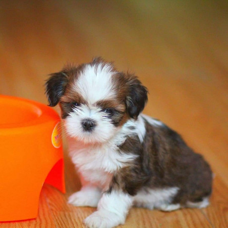 beautiful-shihtzu-puppies-male-and-female-available-big-1