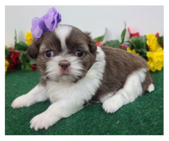 beautiful-shihtzu-puppies-male-and-female-available-big-0