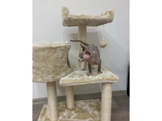 Beautiful sphinxlair cat looking for her forever at home