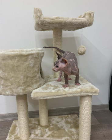 beautiful-sphinxlair-cat-looking-for-her-forever-at-home-big-0