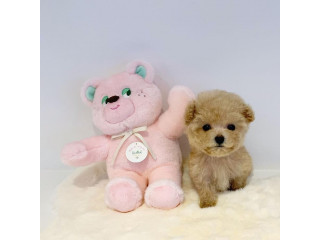 Beautiful teacup poodle puppies male and female available