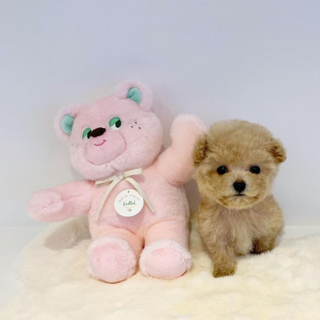 beautiful-teacup-poodle-puppies-male-and-female-available-big-0