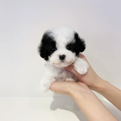 beautiful-teacup-poodle-puppies-male-and-female-available-big-1