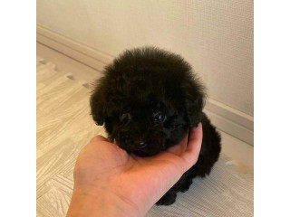 Beautiful teacup poodle puppies available male and female